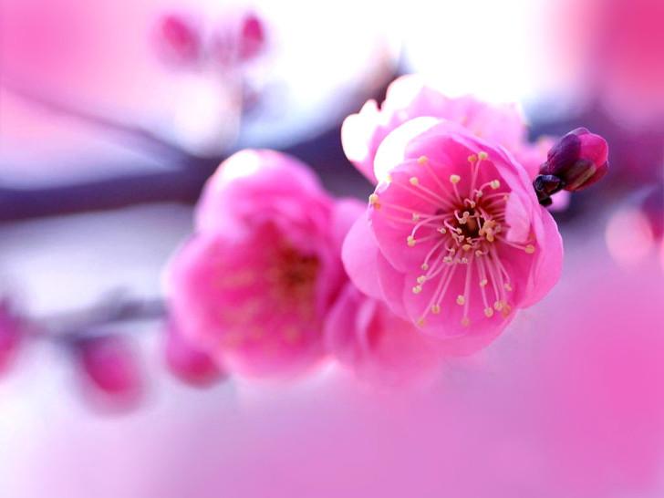 Beautyful-Pink-Sakura-728x546.jpg